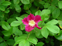 dog-rose_th.png
