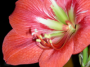 projects:artwork:hippeastrum_th.png